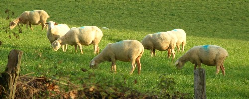 photo de moutons